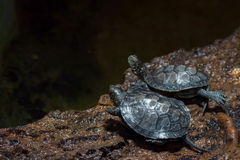 Madagascar river turtle close up Stock Photo