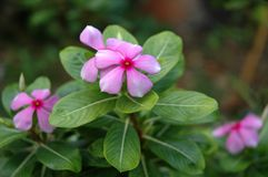 Madagascar Rosy Periwinkle Stock Images