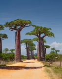 Madagascar. Rural african road among baobab trees. Madagascar Royalty Free Stock Photos