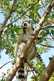 Madagascar's Ring-tailed lemur. Sitting on the tree. Valencia biopark Stock Image