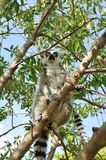 Madagascar's Ring-tailed lemur. Sitting on the tree. Valencia biopark Stock Photography