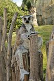 Madagascar's ring-tailed lemur. Sitting in funny pose outdoors. Valencia biopark Stock Photos