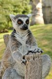 Madagascar's ring-tailed lemur. Sitting in funny pose outdoors. Valencia biopark Royalty Free Stock Photos