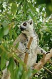 Madagascar's Ring-tailed lemur. Sitting on the tree. Valencia biopark Stock Photo