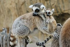 Madagascar's ring-tailed lemur  with the cub. Madagascar's ring-tailed lemur  with the small baby on a back. Outdoors shooting Royalty Free Stock Images
