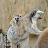 Madagascar's ring-tailed lemur  with the cub Stock Photos