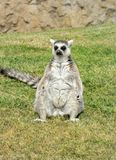 Madagascar's ring-tailed lemur in funny pose. Royalty Free Stock Images