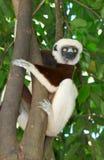 Madagascar Sikafe Lemur Stock Images