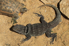 Madagascar spiny-tailed iguana (Oplurus cuvieri), also known as the Madagascar collared lizard. Stock Photography
