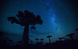 Madagascar. Starry sky and baobab trees. Madagascar Stock Image