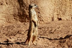 Madagascar Suricata on a clay landscape Stock Photos