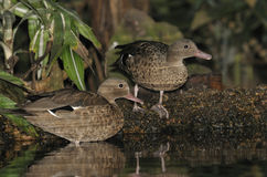 Madagascar Teal - Anas bernieri Royalty Free Stock Photos