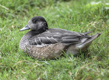 Madagascar Teal. Taken in a captive enclosure roosting on the grass Stock Photos
