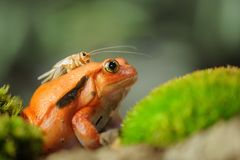 Madagascar tomato frog with house cricket. On her top. Closeup view of predator and prey in funny position Royalty Free Stock Photography