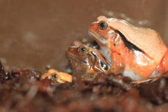 Madagascar tomato frog. The trio of Madagascar tomato frogs Stock Images