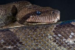 Madagascar tree boa Royalty Free Stock Photo