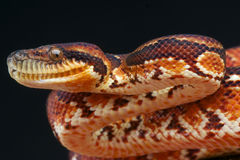 Madagascar Tree Boa Royalty Free Stock Photography