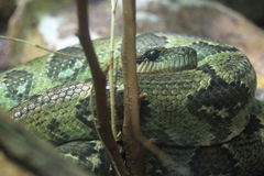 Madagascar tree boa. The detail of madagascar tree boa Stock Images