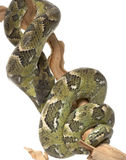 Madagascar Tree Boa Stock Image