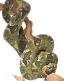 Madagascar Tree Boa stock image