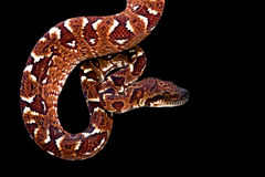 Madagascar tree boa (Sanzinia madagascariensis) Royalty Free Stock Photos