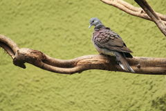 Madagascar turtle dove. The madagascar turtle dove sitting on the branch Stock Photography
