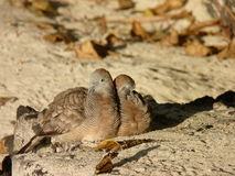 Madagascar Turtle-dove Royalty Free Stock Photos