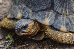 Madagascar turtle royalty free stock image