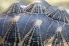 Madagascar Uitgestraalde Schildpad Shell Stock Fotografie
