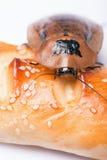 Madagascar väsningkackerlacka på vit bakgrund Arkivbilder