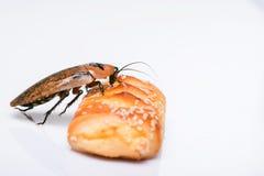 Madagascar väsningkackerlacka på vit bakgrund Fotografering för Bildbyråer
