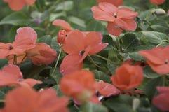 Madagascar Vincapervinca i blom Vincaminderårig Argentina Arkivfoton