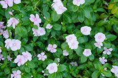 Madagascar vintergröna, Vinca, nucka, Cayenne jasmin, rosa pe Royaltyfri Fotografi