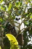 Madagascariensis de orejas alargadas de Owl Asio del pájaro de Madagascar Foto de archivo