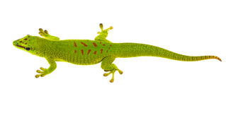 Madagascariensis de Phelsuma - gecko photographie stock