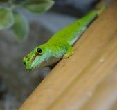 Madagascariensis Phelsuma Стоковое Изображение RF