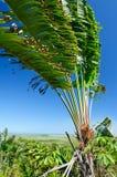 Madagascariensis Ravenala Стоковые Изображения