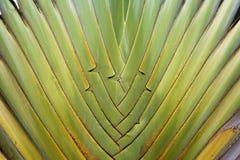 Madagascariensis Ravenala sonn στοκ εικόνες
