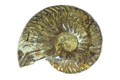 Madagaskar-Ammonit-Fossil Lizenzfreie Stockbilder