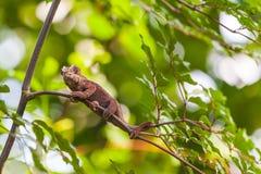 Madagaskar-Eidechse Stockfotos