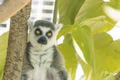 Madagaskar-Maki, Leuchtorange mustert, die intensiven ernsten Starren und betrachtet direkt Kamera lizenzfreies stockbild