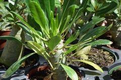 Madagaskar-Palme, die im Topf wächst Stockfotos