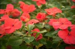 Madagaskar Vincapervinca in der Blüte VINCA-MINDERJÄHRIGER stockfotos
