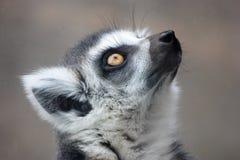 Madagaskarlemur lizenzfreie stockfotos
