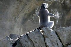 MadagaskarLemur, der Sonnebad erhält Stockbild