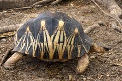 Madagaskars Schildkröte stockbilder