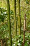 Madake bambustjälk i japansk skog Royaltyfria Foton