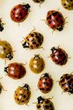 Madame asiatique multicolore coléoptères Image libre de droits