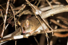 Madame Berthe's mouse lemur. (Microcebus berthae), the smallest primate in the world, in Kirindy Mitea National Park, Madagascar Stock Image