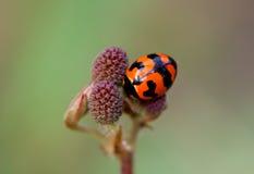 Madame Bug Images stock